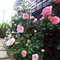 ば~ら が咲いた。in a garden of an own house