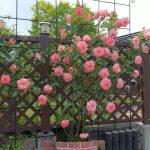 見て!見て! わが家の7種の薔薇が咲きました