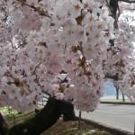 4月23日(日)諏訪湖畔の桜が満開になりました。
